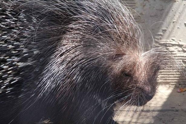 旭山動物園・「小獣舎」の、アフリカタテガミヤマアラシ