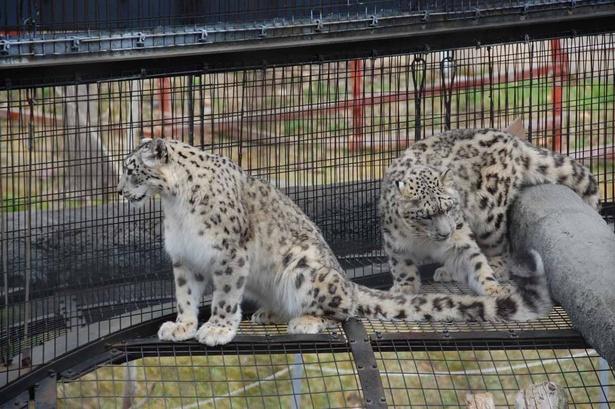 旭山動物園・ユキヒョウの「ジーマ」と「リヒト」親子