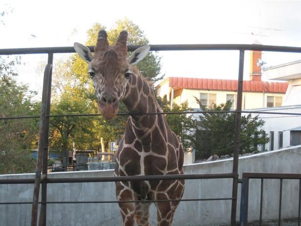 旭山動物園/改築後の総合動物舎にいた頃のキリン