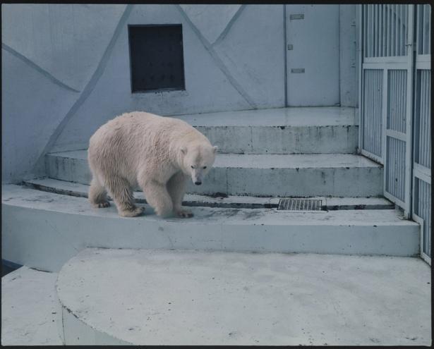 旭山動物園/開園10周年の年に出来た当時のホッキョクグマ舎