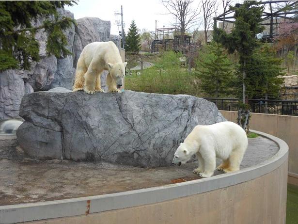 旭山動物園/現在の「ほっきょくぐま館」屋外放飼場
