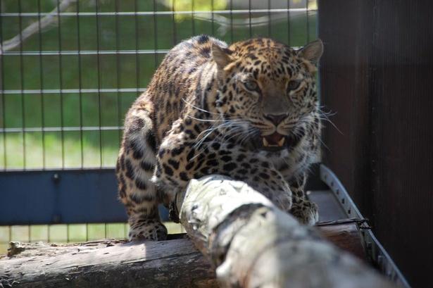旭山動物園/現在の「もうじゅう館」。木の上でくつろぐアムールヒョウ