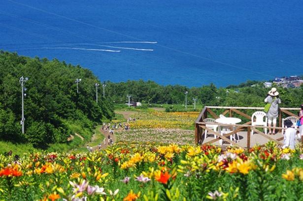 ゲレンデに広がるユリ畑の向こうには真っ青な石狩湾が広がり、眺望抜群