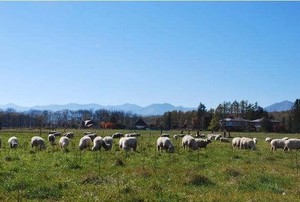広い牧場内ではたくさんの羊が草を食み、のどかな田園風景に癒されます。