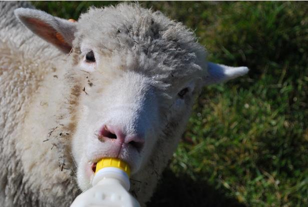 羊の体験1080円(宿泊者限定)。子羊にミルクを与えたり、羊を移動させたりする羊飼いの仕事が体験できます