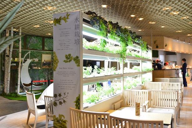 店内ではミントやバジル、イタリアンパセリなどを水耕栽培し、メニューにも使用している