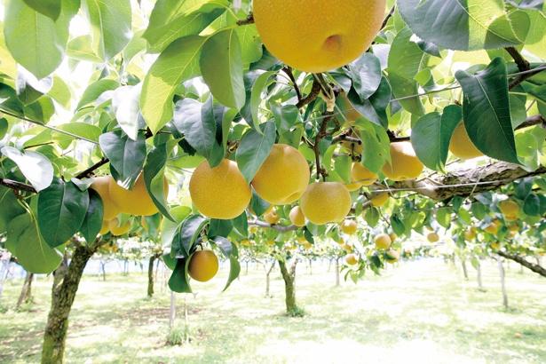 「うきは果樹の村 やまんどん」では、約1万1000平方メートルの敷地でナシが育つ。子供でも採りやすいように棚は低くなっている