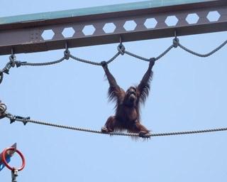 旭山動物園・屋外にある「オランウータン舎」の空中放飼場