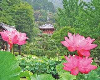 江戸時代に建てられた重厚な三重塔とあでやかなハスとの共演が見事/三室戸寺