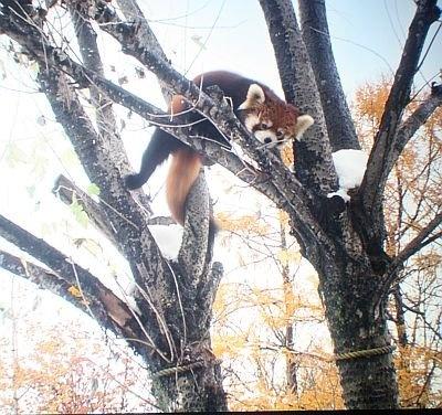木を登ってこちらを見ているシセンレッサーパンダ