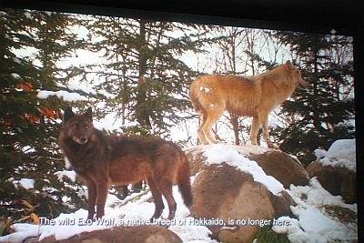 野生ではもう見られないエゾオオカミ