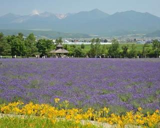 ファーム富田/メインとなるラベンダー畑「倖の畑」。正面入口に近い場所にある