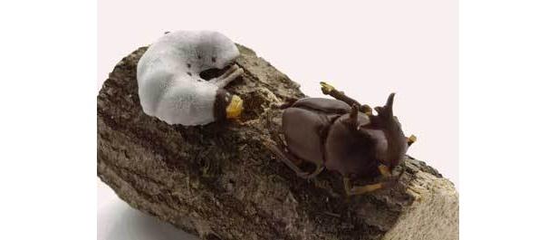 泣く子はもっと泣く(?)、幼虫チョコレート