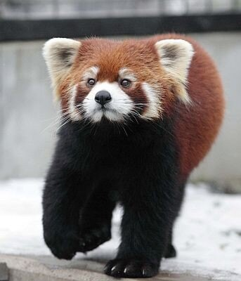 旭山動物園のシセンレッサーパンダ。近くで見ると意外と勇ましく見える?