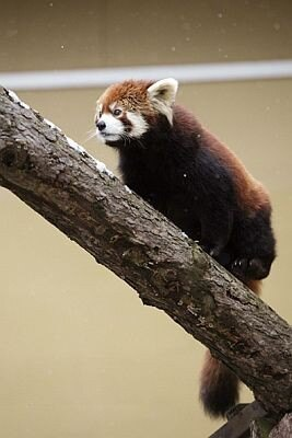 首や腹部、足の毛は真っ黒。木の上にいると、これが保護色になるのだ