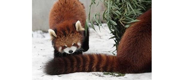 バランスを保つ役割を持った太い尻尾は、なんと、胴体と同じくらいの長さ