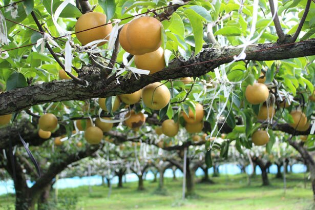 8月は「幸水(こうすい)」、9月は「豊水(ほうすい)」、10月は「新高(にいたか)」といった品種が採れる
