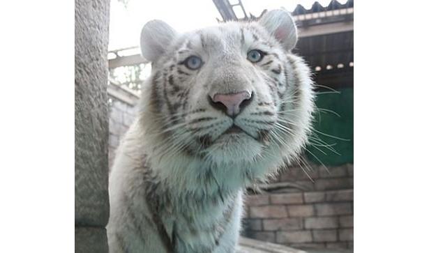 東武動物公園にいるホワイトタイガーのロッキーくん。意外と穏やかな目をしてる!?