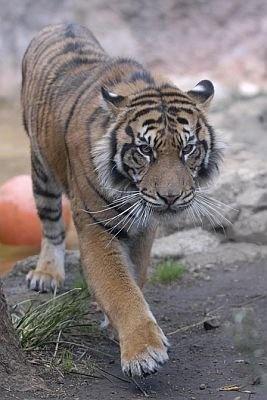 【勇ましい!上野動物園にはスマトラトラのクンデくん】