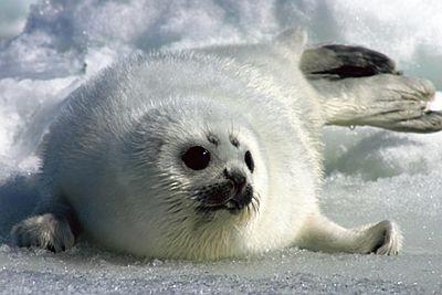 知床沖は世界でも有数の猛禽類の越冬地として知られる。アザラシに会えるかも!?/流氷クルージング