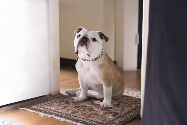 愛犬マーヴィンを演じたブルドッグのネリーは、実は女の子