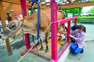 牛の乳搾り体験は1日2回。11:30~11:50と13:30~13:50の時間内に無料でできる