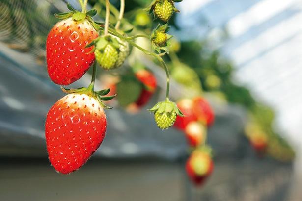 【写真を見る】「とちおとめ」を中心に甘味豊かなイチゴが実る