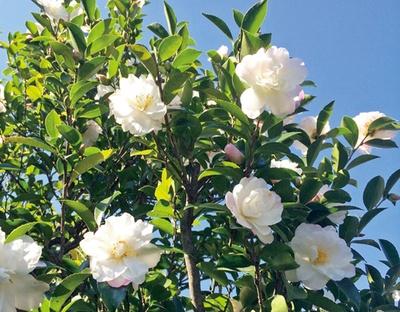 数多くの品種をそろえている11月の花「サザンカ」