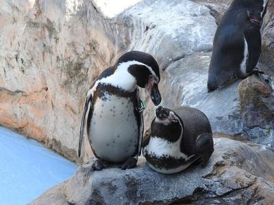 フンボルトペンギンのミドリ(写真左)とデンカ(写真右)