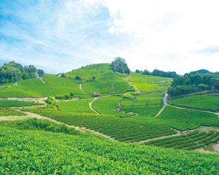 青空と緑のコントラストも美しい京都が誇る景色/石寺の茶畑