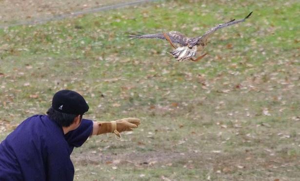 信長、家康など、戦国武将がこよなく愛した「鷹狩り」を再現