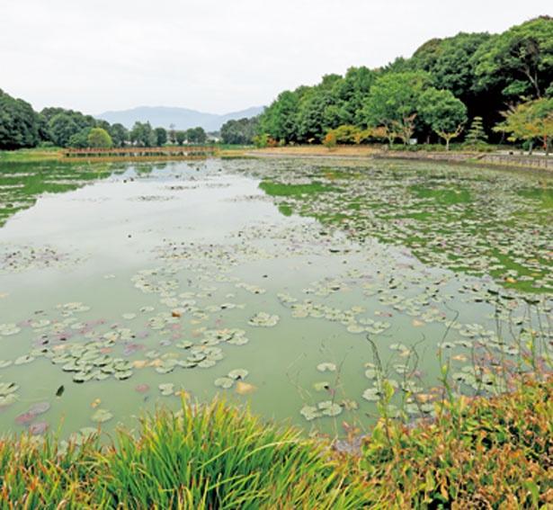約4万9500平方メートルの広さを誇る深田池/橿原神宮