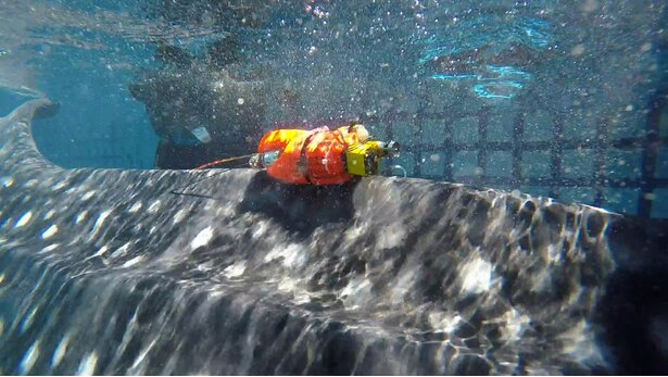 生態を知るため、バイオロキング装置を取り付けられるジンベエザメ「ユウユウ」