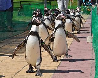 ペンギンがプール外に登場するイベントとしては国内最大規模!