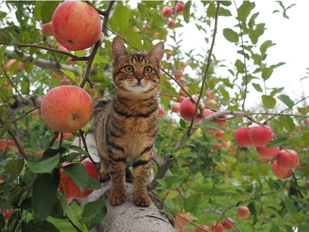 津軽のリンゴ農園ですくすくと育つコトラの子ネコ、ハナ