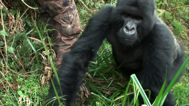 【写真を見る】ルワンダでのロケ中、「志村どうぶつ園」撮影チームに接近する絶滅危惧種のマウンテンゴリラ