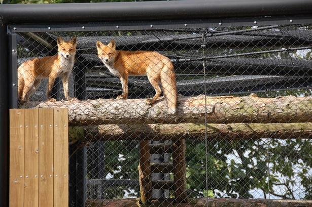 旭山動物園「北海道産動物舎」/キタキツネの足先は黒くなっている