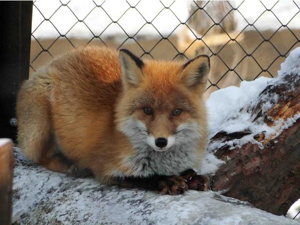 旭山動物園「北海道産動物舎」/夏よりも毛がふかふかになる、冬のキタキツネ