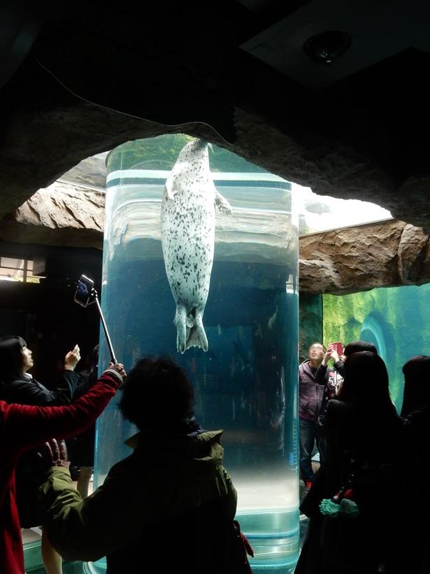 旭山動物園「あざらし館」/アザラシが上下から垂直方向に泳いでくるマリンウェイ