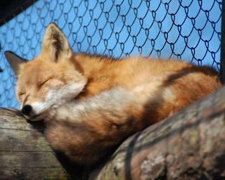 旭山動物園「北海道産動物舎」/キタキツネやエゾタヌキなど北海道に生息する動物たちが暮らしている