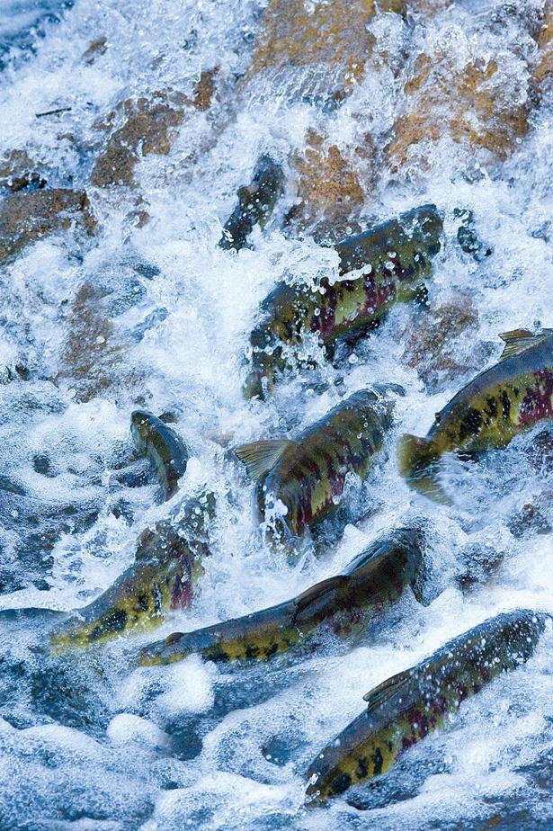 体を傷だらけにしながらも川を遡上する様子は圧巻(写真は白老・ウヨロ川)