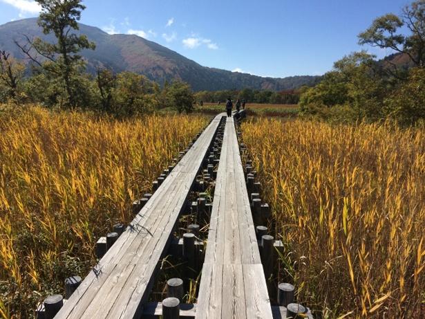 秋の尾瀬は、黄金のじゅうたんの中を歩くよう