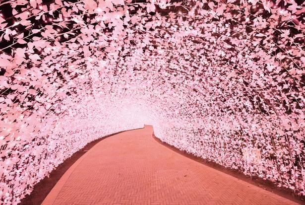 サクラ色にきらめく「光のトンネル」