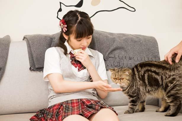 【写真を見る】ちっひーの推しニャン「こんぶくん」(エキゾチックショートヘアー)/猫カフェ にあにゃあ