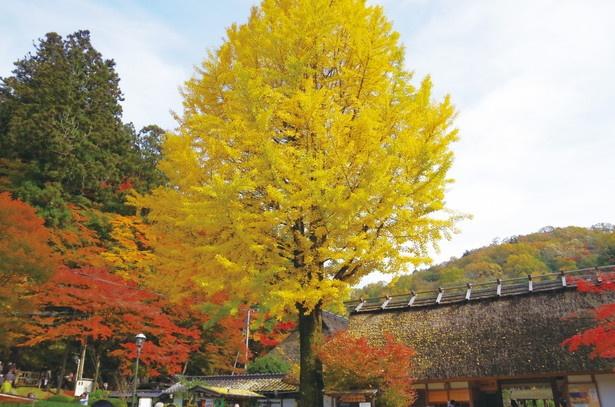 三州足助屋敷のシンボル的存在である大イチョウの紅葉も見逃せない