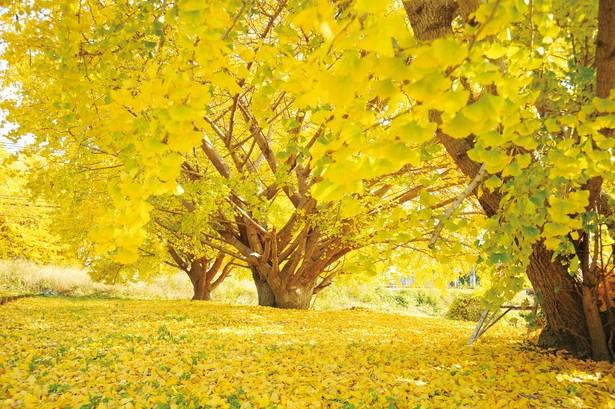 黄金色のカーペットを思わせる幻想的なイチョウが圧巻!