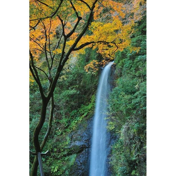 高さ30m、幅4mの養老の滝。国内有数の名瀑とモミジの美しい競演が見られる