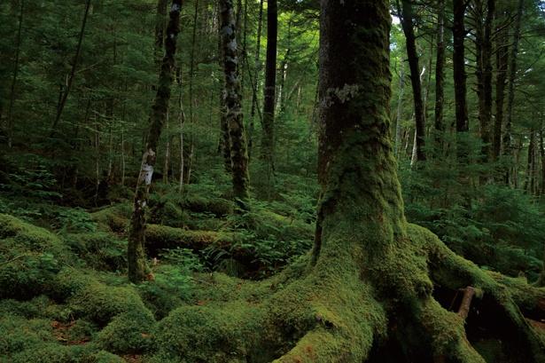 白駒池周辺にはコケの森が。山歩きをしながら、神様が創った 小さな芸術の鑑賞会をしている気分に