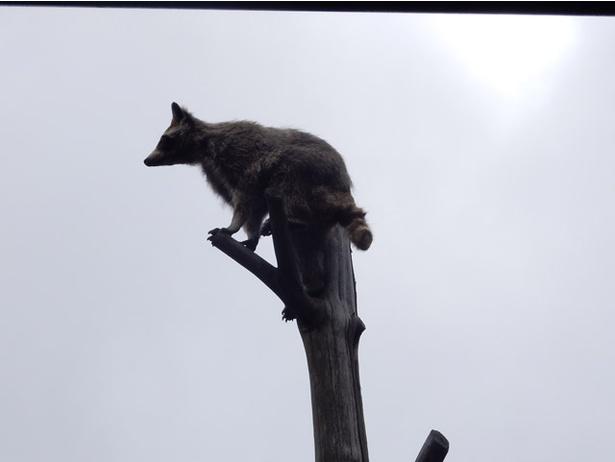 旭山動物園/放飼場にある木に登るアライグマ