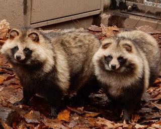旭山動物園/冬の寒さに備え、秋に蓄えた皮下脂肪でまるまると太り、毛もふかふかになるエゾタヌキ